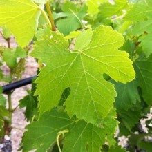 Viognier_leaf_at_Red_Willow